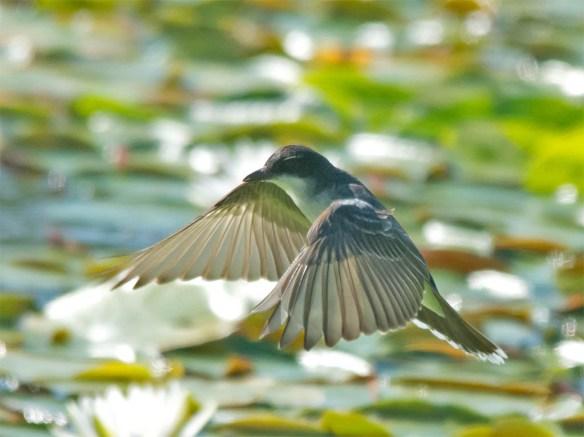 Eastern Kingbird 2016-30