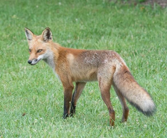 Fox 54