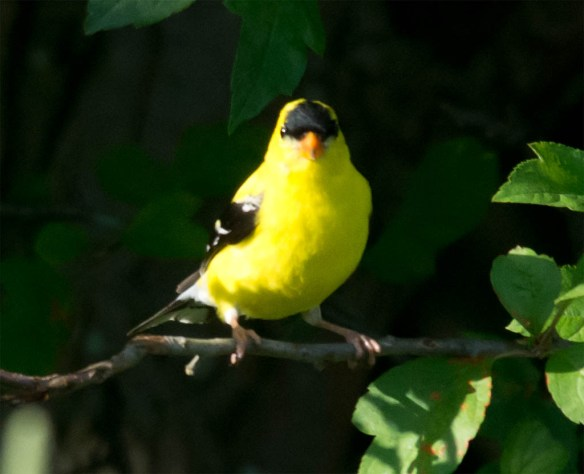 Goldfinch 2106-10