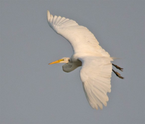 Great Egret 2016-18