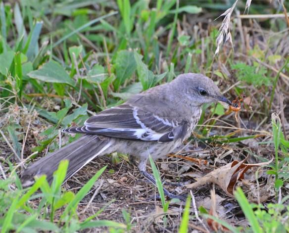 Mockingbird 2016-11