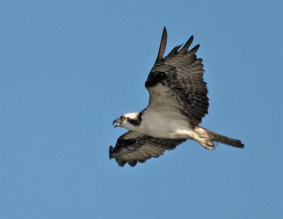 Osprey 2016-78
