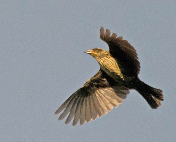 Red Winged Blackbird 2016-46