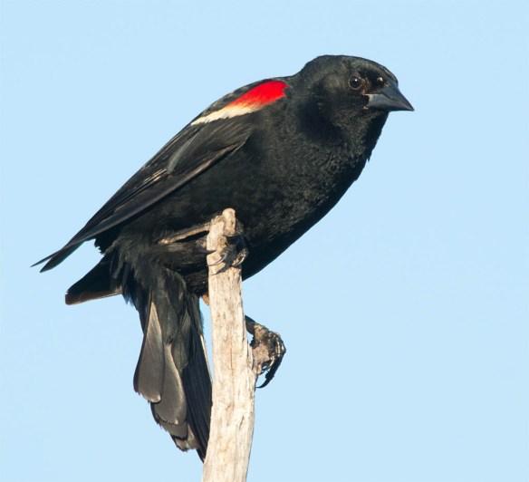 Red Winged Blackbird 2016-47