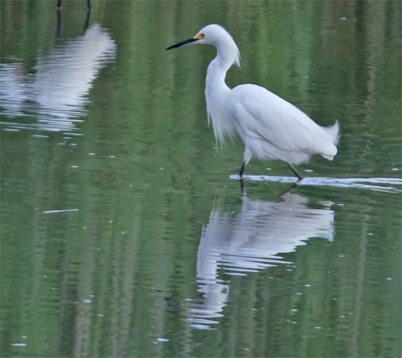 Snowy Egret 2016-18