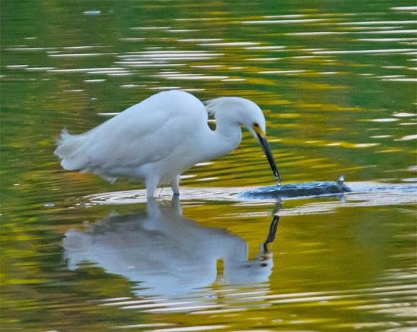 Snowy Egret 2016-24