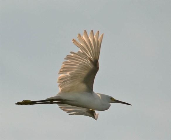 Snowy Egret 2016-32