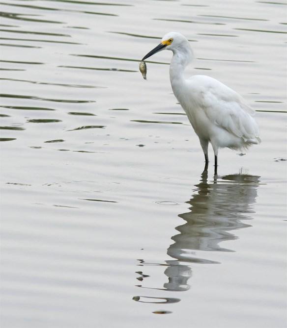 Snowy Egret 2016-41