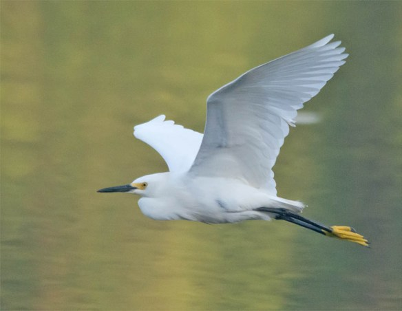 Snowy Egret 2016-47