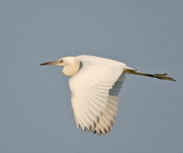 Snowy Egret 2016-63