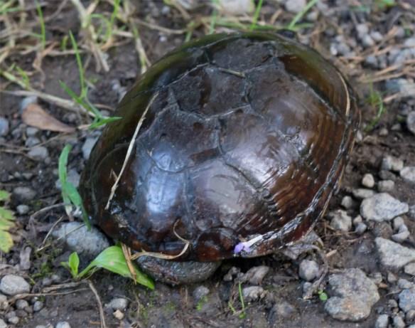 Turtle 62