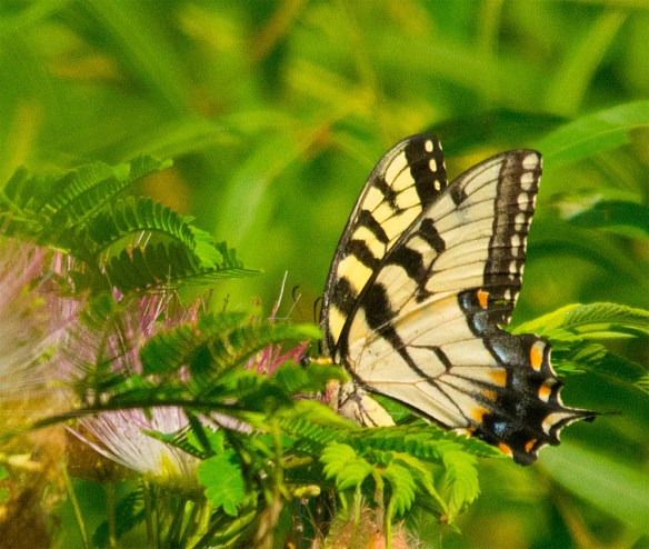 Western Tiger Swallowtail 101