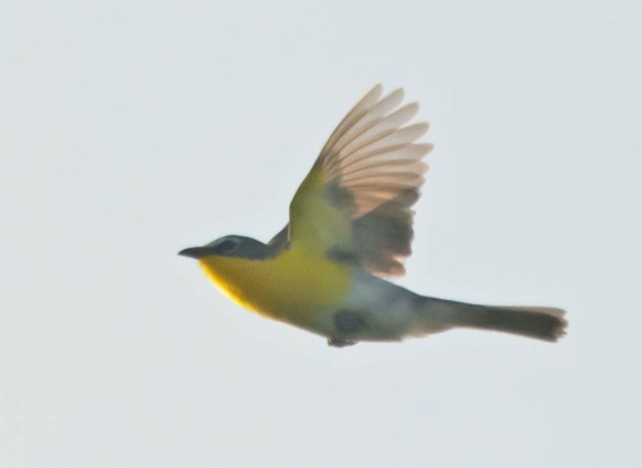 Yellow Breasted Chat 2016-3