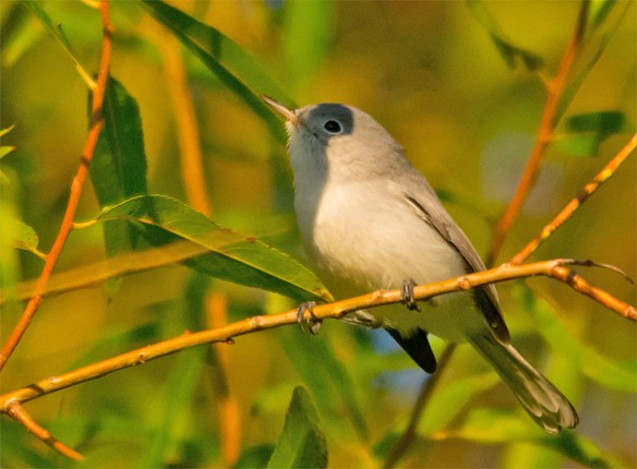 Blue Gray Gnatcatcher 2016-8
