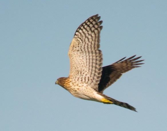 Cooper's Hawk 2016-1