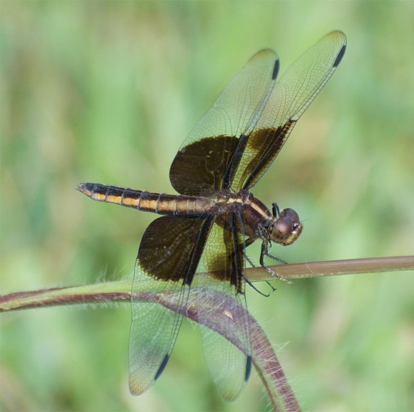 Dragonfly 84