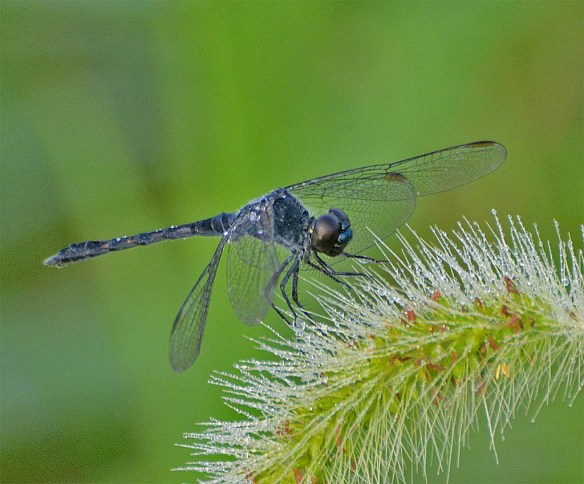 Dragonfly 88