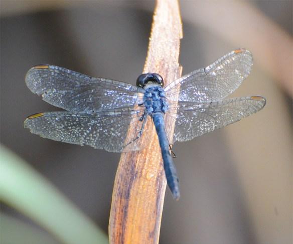 Dragonfly 91