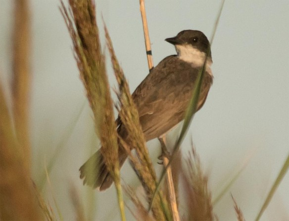 Eastern Kingbird 2016-35