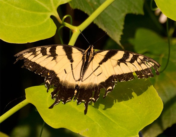 Eastern Tiger Swallowtail 103