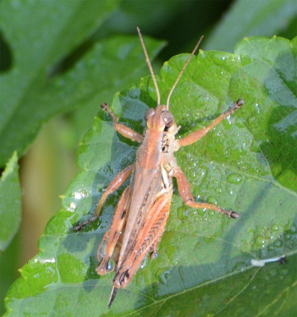 Grasshopper 211