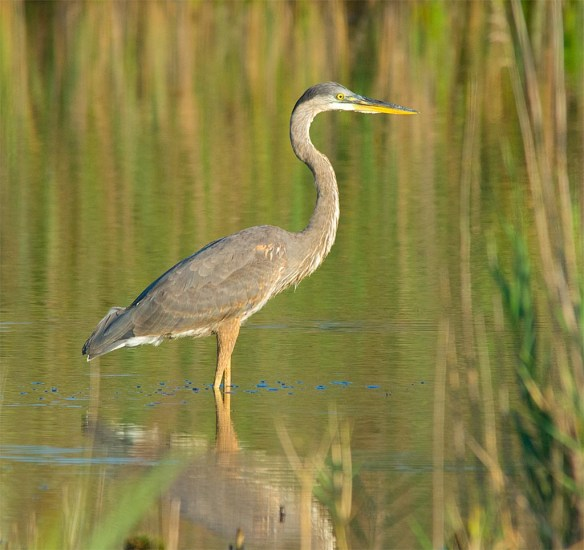 Great Blue Heron 2016-69