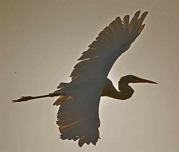 Great Egret 2016-53
