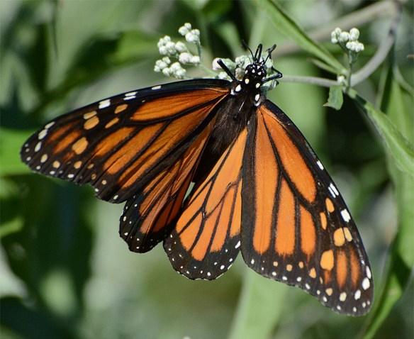 Monarch 33