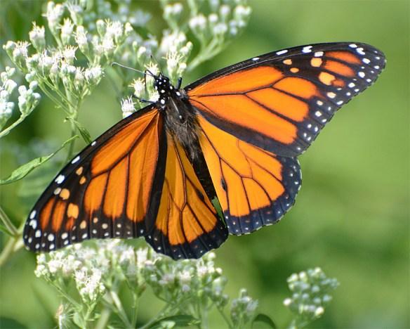 Monarch 34
