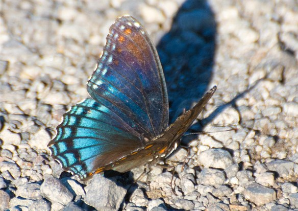 Red Spotted Purple 4
