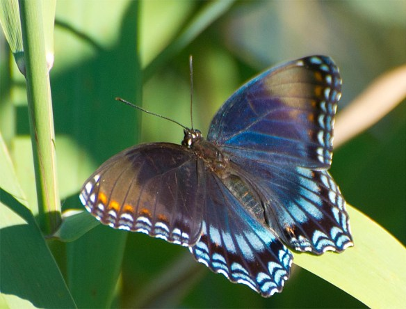 Red Spotted Purple 6