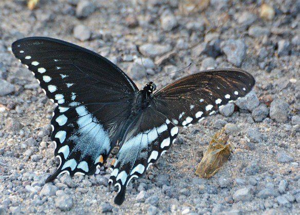 Red Spotted Purple 9