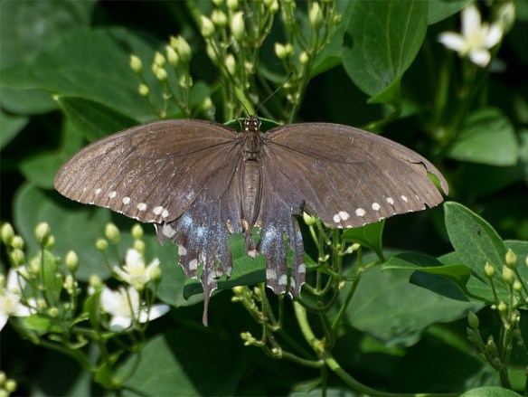 Spicebush Swallowtail 22