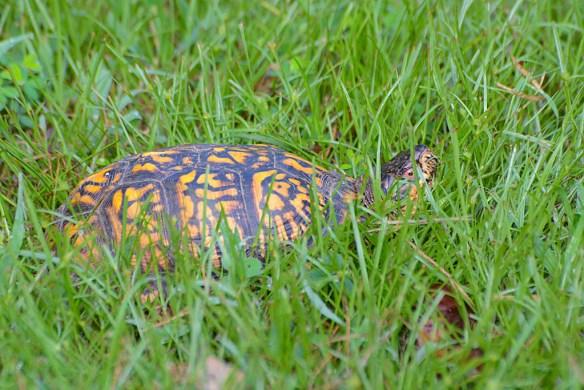 Turtle 68