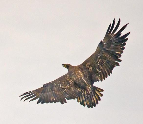 bald-eagle-2016-71
