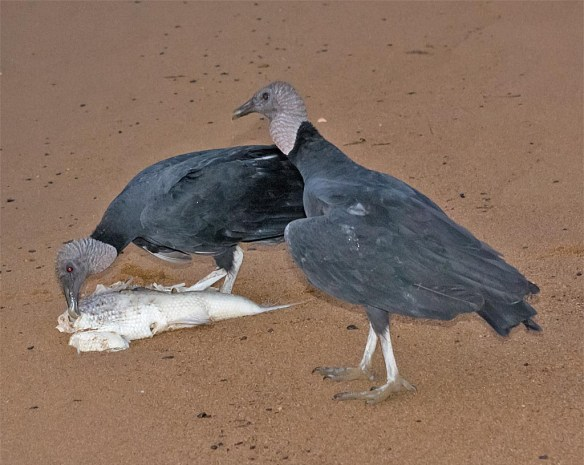 black-vulture-2016-3