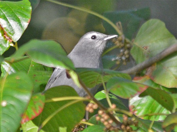 blue-gray-gnatcatcher-2016-12
