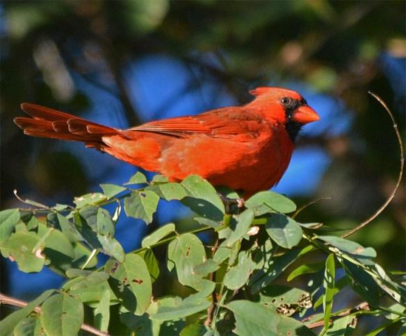 cardinal-2016-23