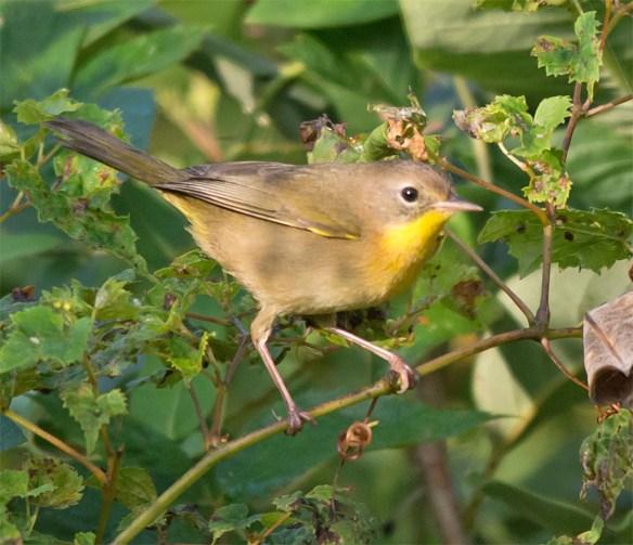 common-yellowthroat-warbler-2016-14