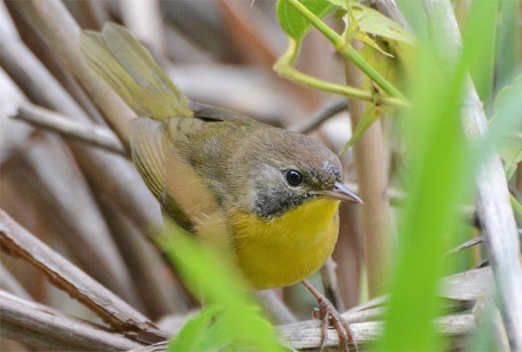 common-yellowthroat-warbler-2016-15