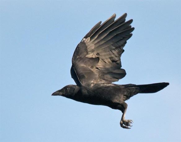 crow-2016-16