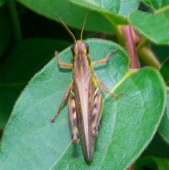 grasshopper-216