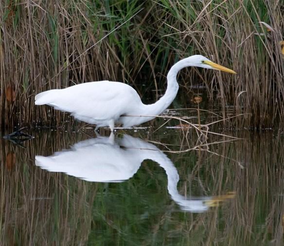 great-egret-2016-67