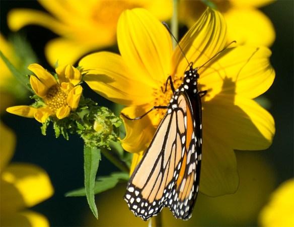 monarch-36