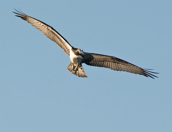 osprey-2016-127