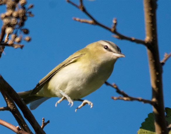red-eyed-vireo-2016-7