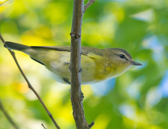 red-eyed-vireo-2016-8