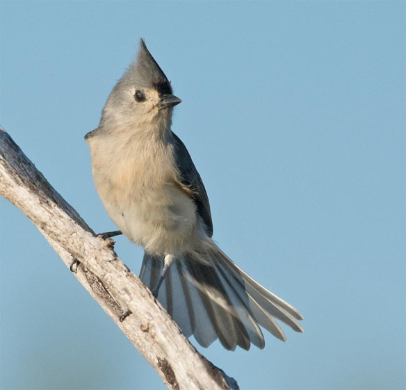 tufted-titmouse-2016-5