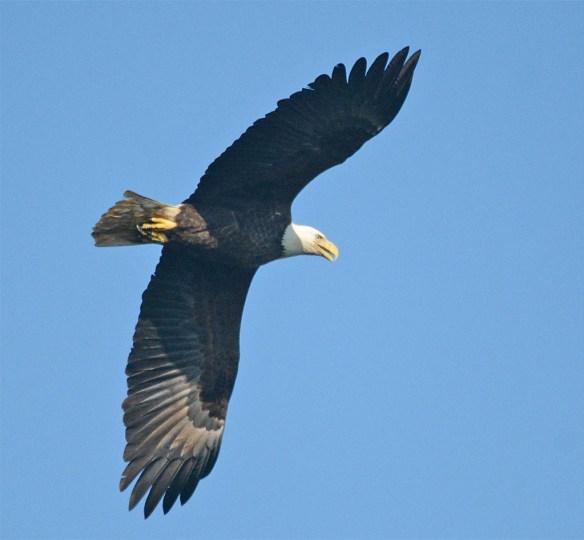 bald-eagle-2016-86