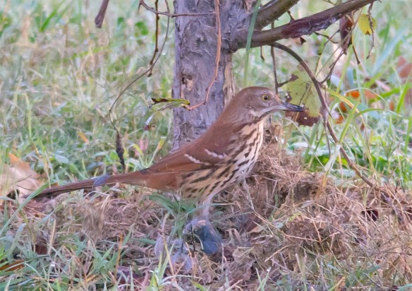 brown-thrasher-2016-8